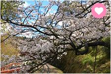 【櫻花名所】春遊賞花最前線